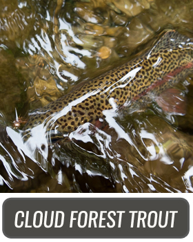CLOUD FOREST TROUT